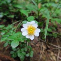 ノイバラの育て方|花言葉や実のなり方、花の咲き方は?の画像