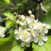 カマツカとは|花や実の特徴、似た花や花言葉は?の画像