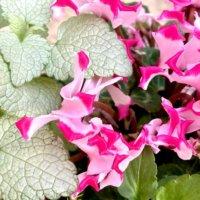 シクラメンの寄せ植え|相性の良い花や作り方、管理方法は?の画像