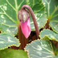 シクラメンの花が終わったら|花がら摘みの方法や日々の手入れは?の画像