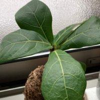 ゴムの木の風水|風水効果の高い置き場所や方角は?の画像