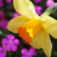 ラッパズイセン(喇叭水仙)の花言葉|色別の意味や種類は?の画像