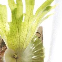 ビカクシダ・グランデとは|2種類の葉をもつ観葉植物!スパーバムとの違いや見分け方とは?の画像