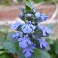 ジュウニヒトエ(十二単)とは|花言葉や名前の由来、似た花は?の画像