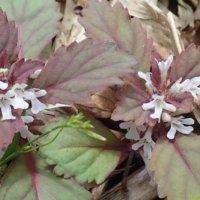 ニシキゴロモとは|似た花やキランソウとの違い、花言葉は?の画像