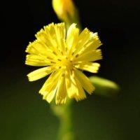 オニタビラコとは|花言葉や似た花との見分け方、食べることができる?の画像
