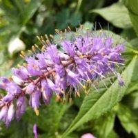 クガイソウとは|似た花や葉の特徴、花言葉や名前の由来は?の画像