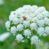 ノラニンジンとは|花言葉や似た花との違い、食べることはできる?の画像