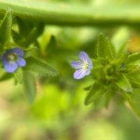 タチイヌノフグリとは|花言葉や似た花、オオイヌノフグリとの違いは?の画像