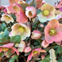 クリスマスローズの寄せ植え|相性の良い花やポイントは?の画像