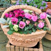 ガーデンシクラメンの寄せ植え|作り方やおすすめの植物、管理方法は?の画像