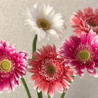 ガーベラの花が終わったら|葉や茎が枯れたあとの手入れや種の取り方は?の画像