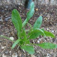 ほうれん草の水耕栽培|種を発芽させるポイントや注意することは?の画像