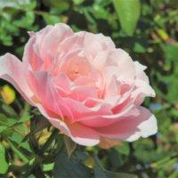 バラの鉢植えの育て方|植え付けの時期や使う用土は?の画像
