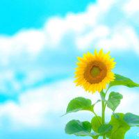 夏をさわやかに彩るひまわり🌻満開の瞬間を映しました📷の画像