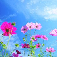 コスモス(秋桜)の種類|色数や花の咲く時期は?の画像