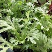 シュンギク(春菊)の栄養|効果・効能や保存方法、旬の時期や選び方は?の画像