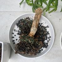 パキラの植え替え|時期や方法は?土はどれを使う?根っこを切る位置は?の画像