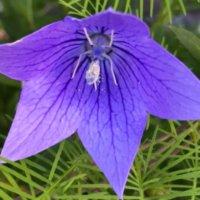 桔梗(キキョウ)の種類|八重咲や一重咲きなどの人気の品種は?の画像