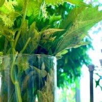 シソ(大葉)の水耕栽培|ペットボトルでもできる?方法やポイントは?の画像