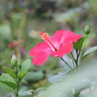 真夏に咲くハイビスカス!南国を感じる魅惑の一枚特集🌺の画像