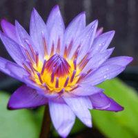 スイレン(睡蓮)とハス(蓮)の違い|花や葉の特徴、見分け方は?の画像