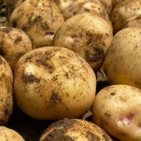 ジャガイモの保存方法|保存できる期間や冷凍・冷蔵庫、常温での方法は?の画像
