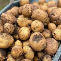 ジャガイモの芽が出たらどうする?|取り方や毒はどれくらいある?の画像