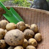 ジャガイモの芽かき|芽は何本残す?土寄せは必要?の画像