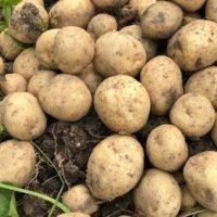 ジャガイモの土寄せ|時期や方法、1回目と2回目の違いは?の画像