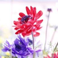 アネモネの花言葉|怖い意味がある?花が咲く季節はいつ?どんな種類がある?の画像
