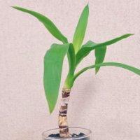 ユッカ(青年の木)の揷し木|時期や方法、成功させるポイントは?の画像