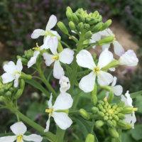 ダイコン(大根)の花言葉|花や葉の特徴や、名前の由来は?の画像