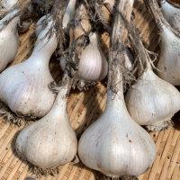 ニンニクの種類|日本でよく食べられている品種は?の画像