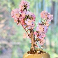 桜盆栽の育て方|植え替えや剪定の時期や方法、寿命はどれくらい?の画像