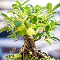 ガジュマル盆栽の仕立て方|栽培に適した鉢って?土選びや水やりのコツとは?の画像