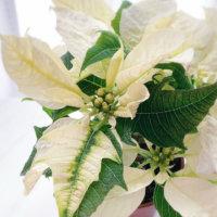 12月の花おすすめ12選!真冬に見頃を迎える種類は?花壇やプランターで楽しめるのは?の画像